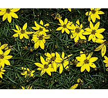 Patch of coreopsis flowers Photographic Print