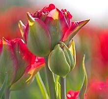 Vibrant Tulips by Lindie Allen