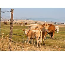Interrupting Cows Photographic Print