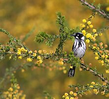 New Holland Honeyeater by Barb Leopold