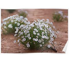 Outback Daisy Poster