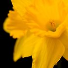 Daffodils on black background by Declan Howard