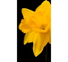Daffodils on black background Photographic Print