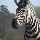 Burchell's Zebra (Equus burchellii) by RCTrotman