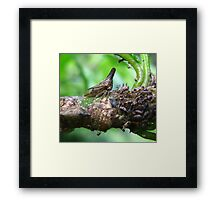 Mother Membracidae Treehopper & Nymph Framed Print