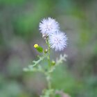 Little couple of dandelion by shkyo30