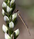 Damselfly & Orchid by LeeoPhotography