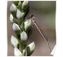 Damselfly & Orchid Poster