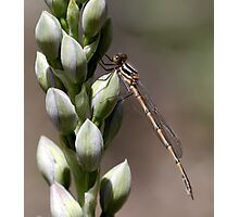 Damselfly & Orchid Photographic Print