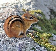 Chipmunk on the St. Lawrence by Linda Long