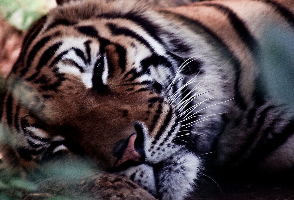 Fading colours of the Indo-Chinese Tiger by UniSoul