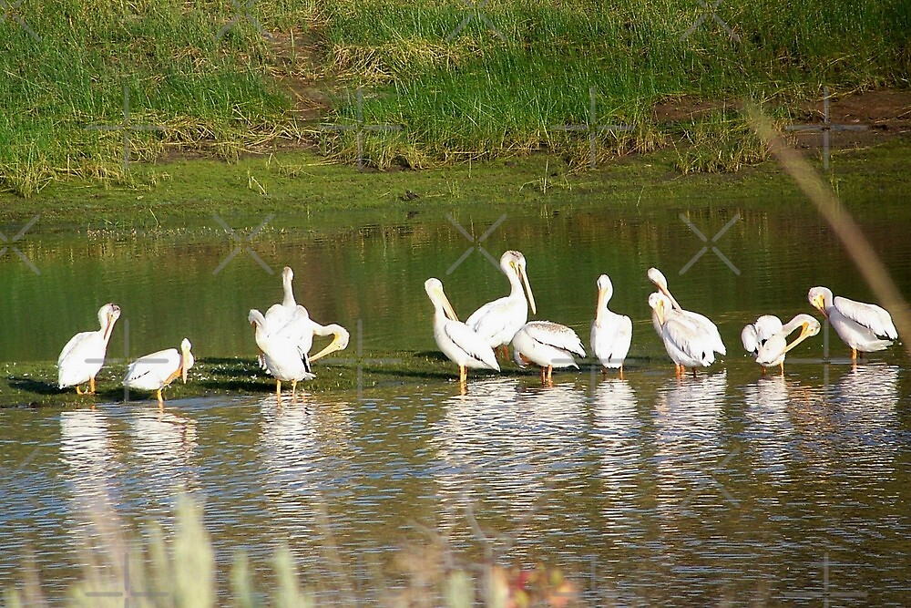 Pelicans on Unity Lake by Betty  Town Duncan