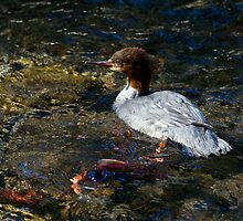 Merganser & Salmon - Odell Lake, Oregon by Randall Ingalls