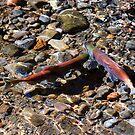 Spawning Salmon - Odell Lake Oregon by Randall Ingalls