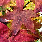 RED AUTUMN MAPPLE LEAF  by robertpatrick
