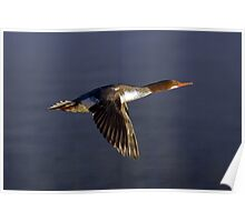 Flying Female Merganser - Odell Lake Oregon Poster