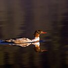 Swimming Female Merganser - Odell Lake Oregon by Randall Ingalls