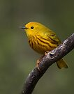 Yellow Warbler by Jim Cumming