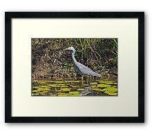 White Faced Heron Framed Print