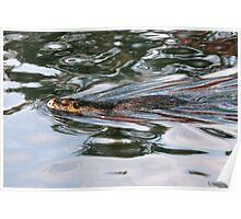 Nutria Swimming - Eugene Oregon Poster