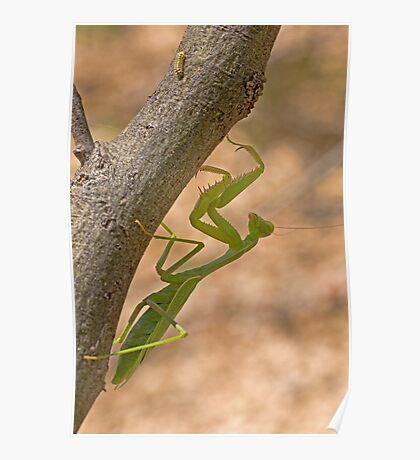 Praying Mantis on the Hunt Poster