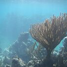 Amazing Coral - Ambergris Caye, Belize by Nina Brandin