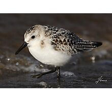 Water Droplets of a Sanderling Photographic Print