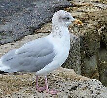Gull On The Cobb by lynn carter