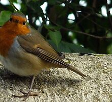 Robin Redbreast by lynn carter