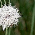 Macro dandelion by jotower