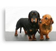 Miniature smooth dachshunds Canvas Print