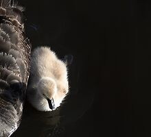Black swan and cygnet baby on the River Murray by Joanne Emery