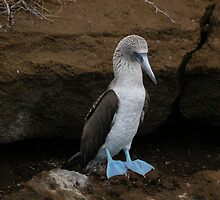 Blue-Footed Booby - Galapagos by Nina Brandin