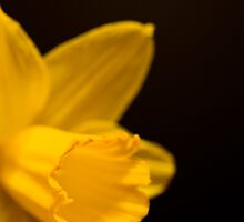 Daffodil study isolated on black background by Declan Howard