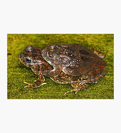 Mating frogs! Photographic Print