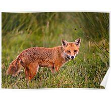 British Red Fox Poster