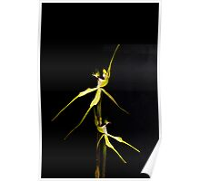 Dancing Duo - Australian Native Spider Orchid Poster