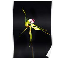 Solo Performance - Australian Native Spider Orchid Poster