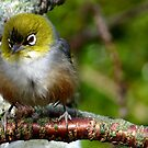 Boy! that was a quick Shower! - silvereye - NZ - Southland by AndreaEL