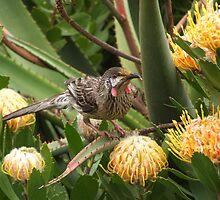 Red Wattle Bird by Martin  Brinsley