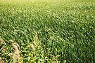 Sea of Grass by MarjorieB