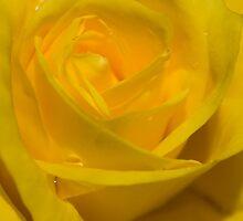 Spring's First Rose by Jennifer Saville