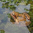 Toad in our garden pond by Philip Mitchell
