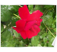 Red Red Red - Floribunda Rose Poster