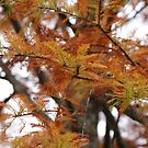 Autumn Bronze - branches of the FIR! by Ruth Lambert