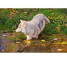 Water Wolf Photographic Print