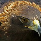 The Face of a Red Tailed Hawk - Ontario by Debbie Pinard