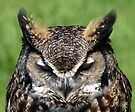 Great Horned Owl by Debbie Pinard