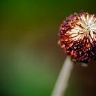 Barren dandelion by jotower