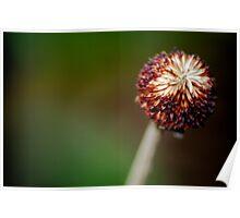 Barren dandelion Poster